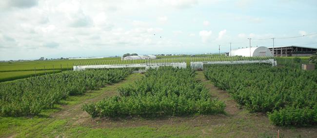 ラズベリー畑